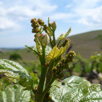 floraison vignes Domaine Lacondemine