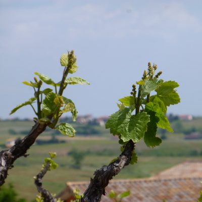 vue et floraison Domaine Lacondemine
