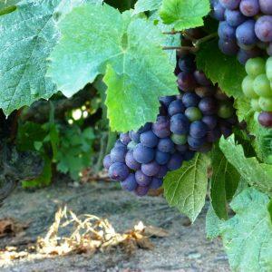 raisin vert et violet Domaine Lacondemine