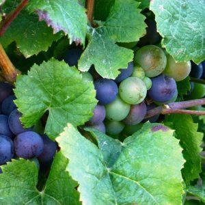 grappe de raisin Domaine Lacondemine