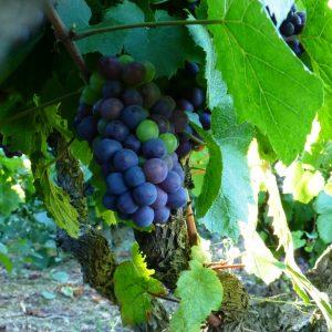 vignes raisin Domaine Lacondemine