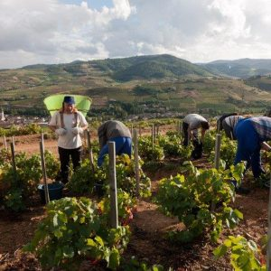 Vignes vendanges Domaine Lacondemine